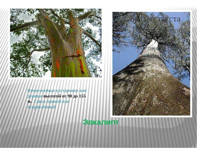 Эвкалипт Вечнозелёные кустарники или деревья высотой от 90 до 155 м. Ствол пр...