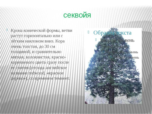 секвойя Крона конической формы, ветви растут горизонтально или с лёгким накло...