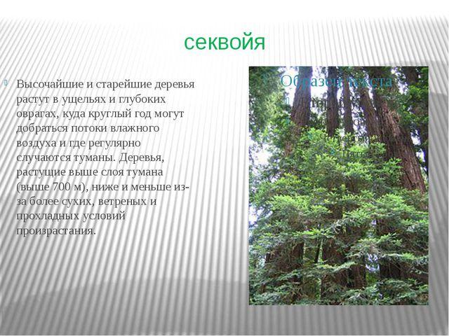 секвойя Высочайшие и старейшие деревья растут в ущельях и глубоких оврагах, к...