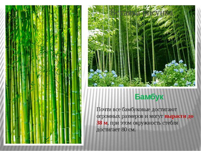 Бамбук Почти все бамбуковые достигают огромных размеров и могут вырасти до 38...
