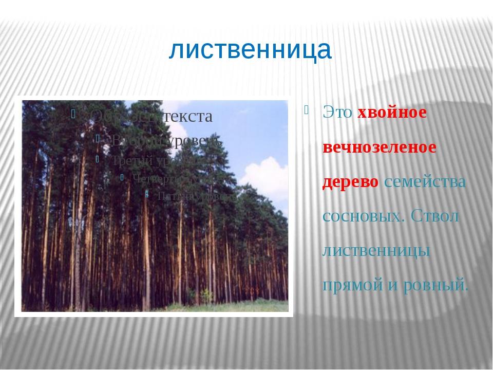 лиственница Это хвойное вечнозеленое дерево семейства сосновых. Ствол листвен...