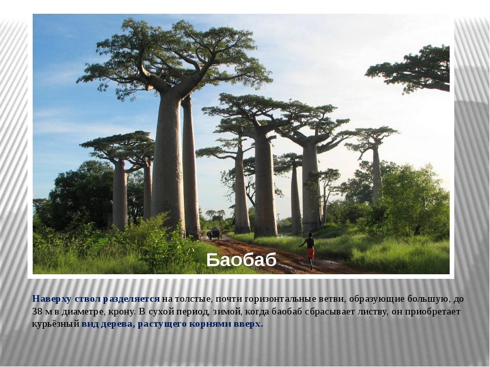 Баобаб Наверху ствол разделяется на толстые, почти горизонтальные ветви, обра...