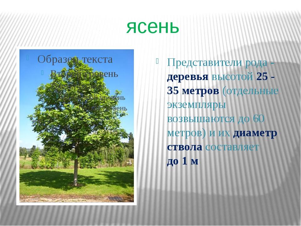 ясень Представители рода- деревья высотой 25 - 35метров (отдельные экземпля...