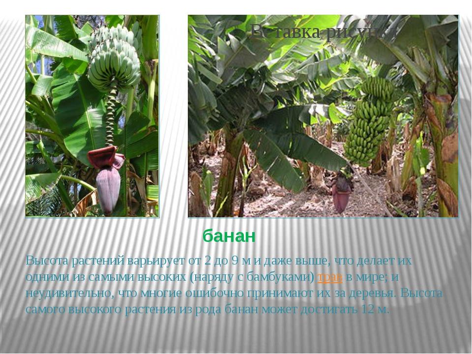 банан Высота растений варьирует от 2 до 9 м и даже выше, что делает их одними...