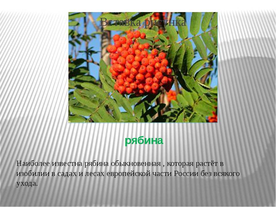 рябина Наиболее известна рябина обыкновенная , которая растёт в изобилии в са...