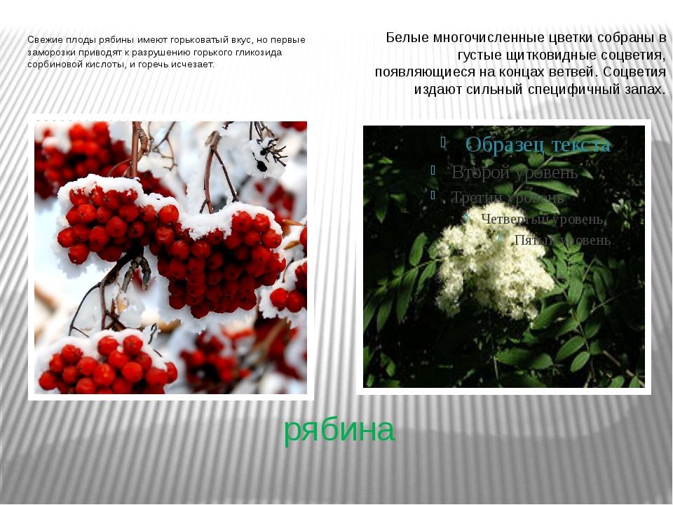 рябина Свежие плоды рябины имеют горьковатый вкус, но первые заморозки привод...