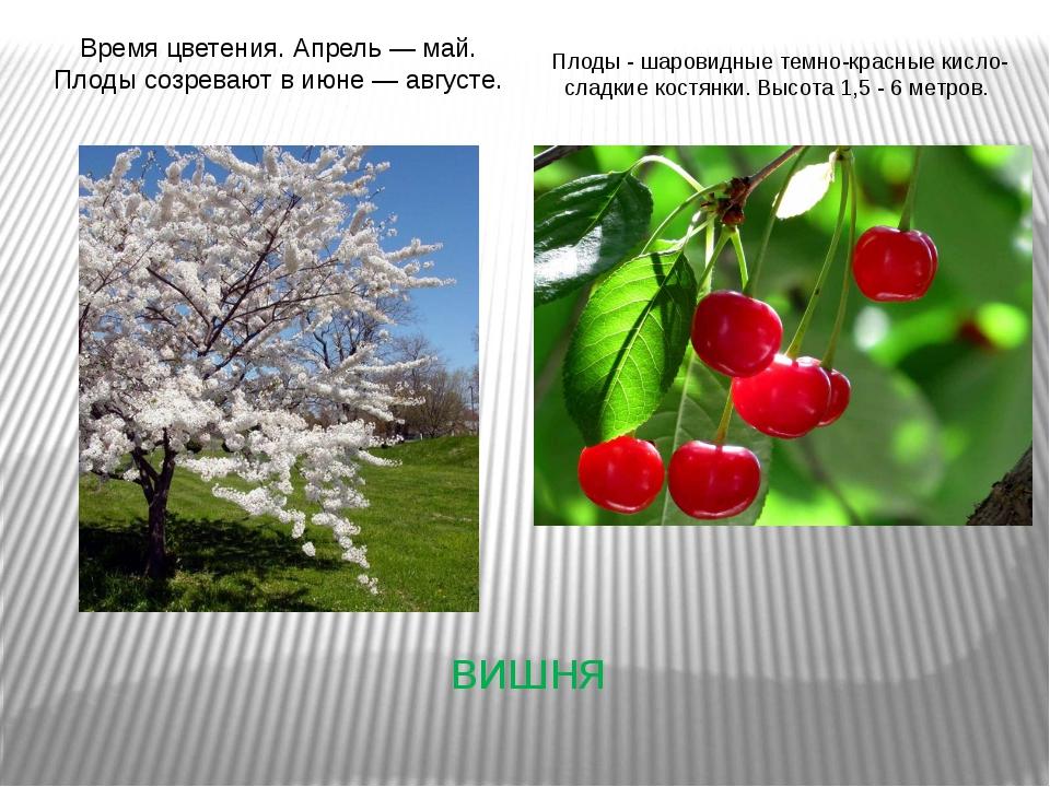 вишня Время цветения. Апрель — май. Плоды созревают в июне — августе. Плоды -...