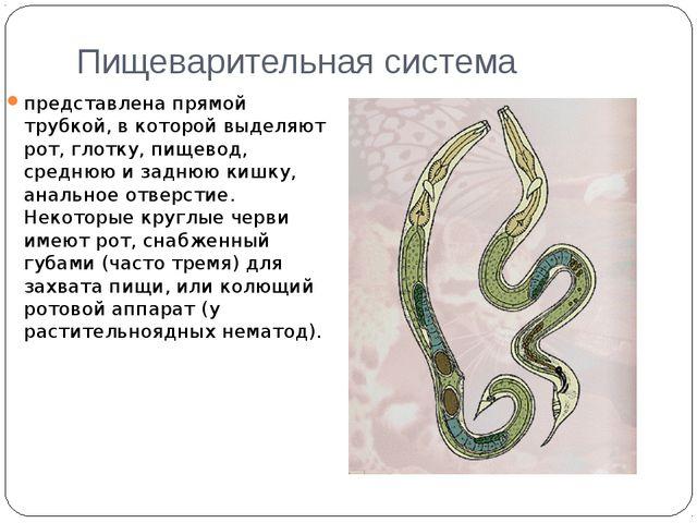 Пищеварительная система представлена прямой трубкой, в которой выделяют рот,...