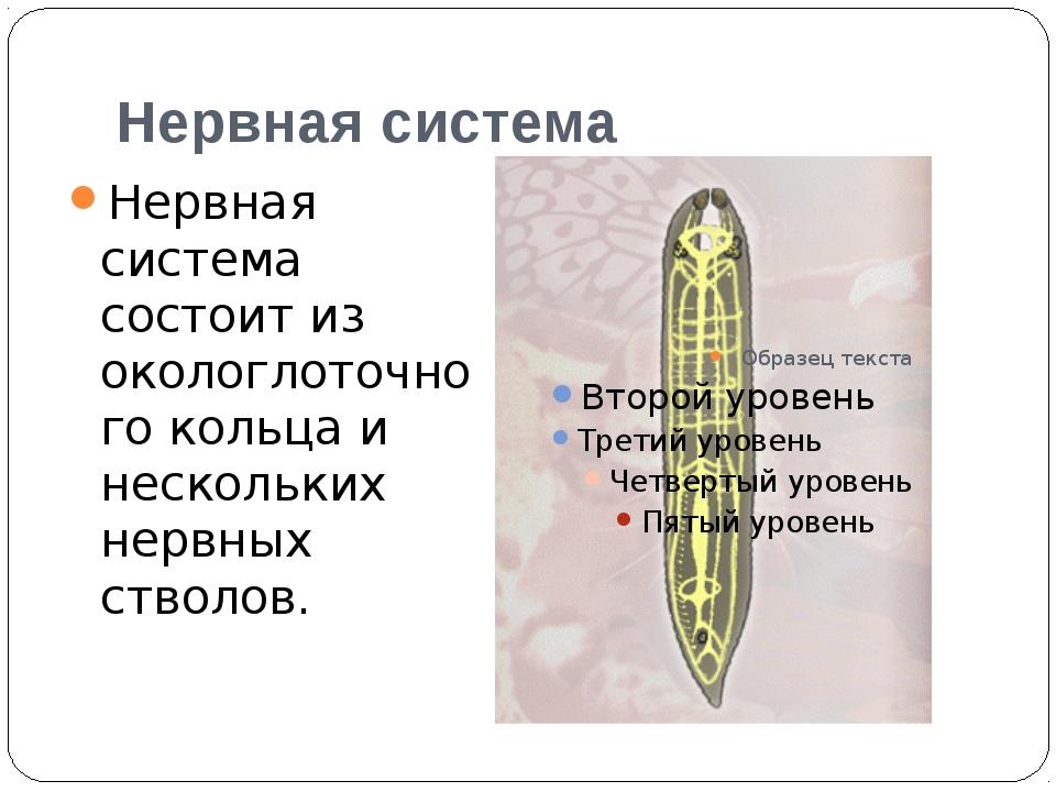 Нервная система Нервная система состоит из окологлоточного кольца и нескольки...