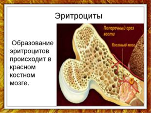Эритроциты Образование эритроцитов происходит в красном костном мозге.