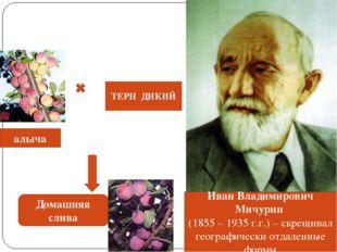 Иван Владимирович Мичурин (1855 – 1935 г.г.) – скрещивал географически отдале