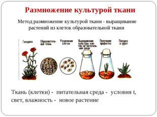 Размножение культурой ткани Метод размножение культурой ткани - выращивание р