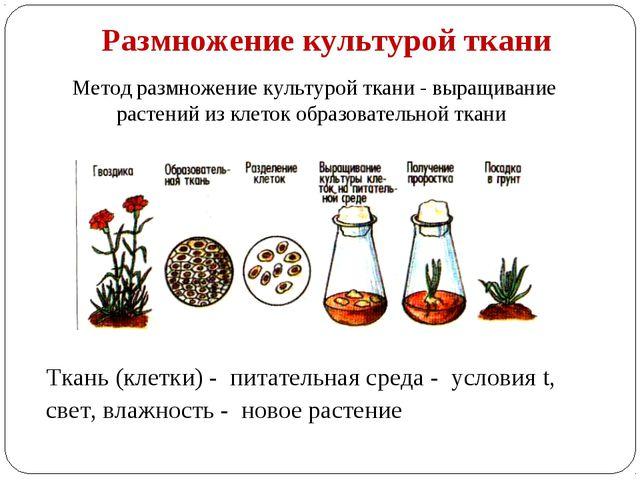 Размножение культурой ткани Метод размножение культурой ткани - выращивание р...