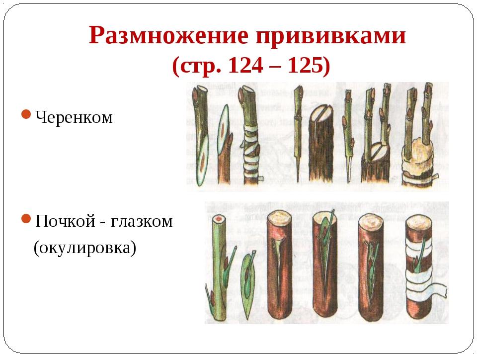 Размножение прививками (стр. 124 – 125) Черенком Почкой - глазком (окулировка)