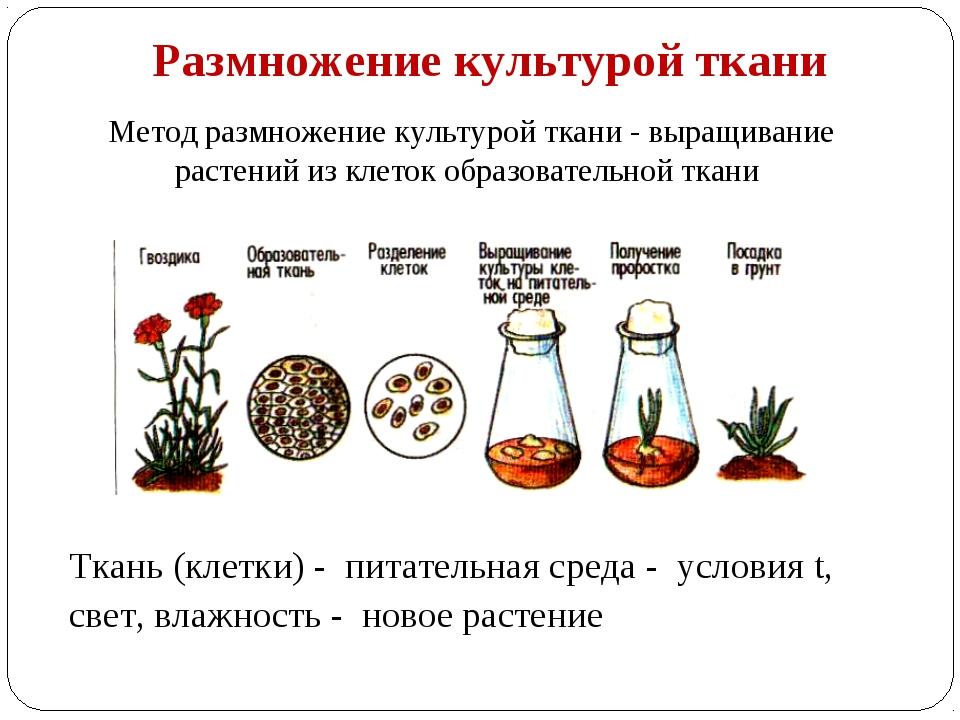 Выращивание тканей вне организма метод 21