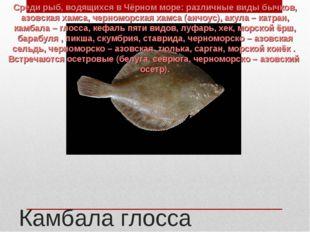 Камбала глосса Среди рыб, водящихся в Чёрном море: различные виды бычков, азо