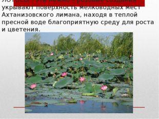 ЛОТОСЫ - эти нежно – розовые создания укрывают поверхность мелководных мест А