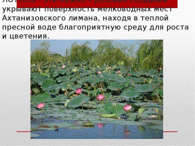 ЛОТОСЫ - эти нежно – розовые создания укрывают поверхность мелководных мест А...