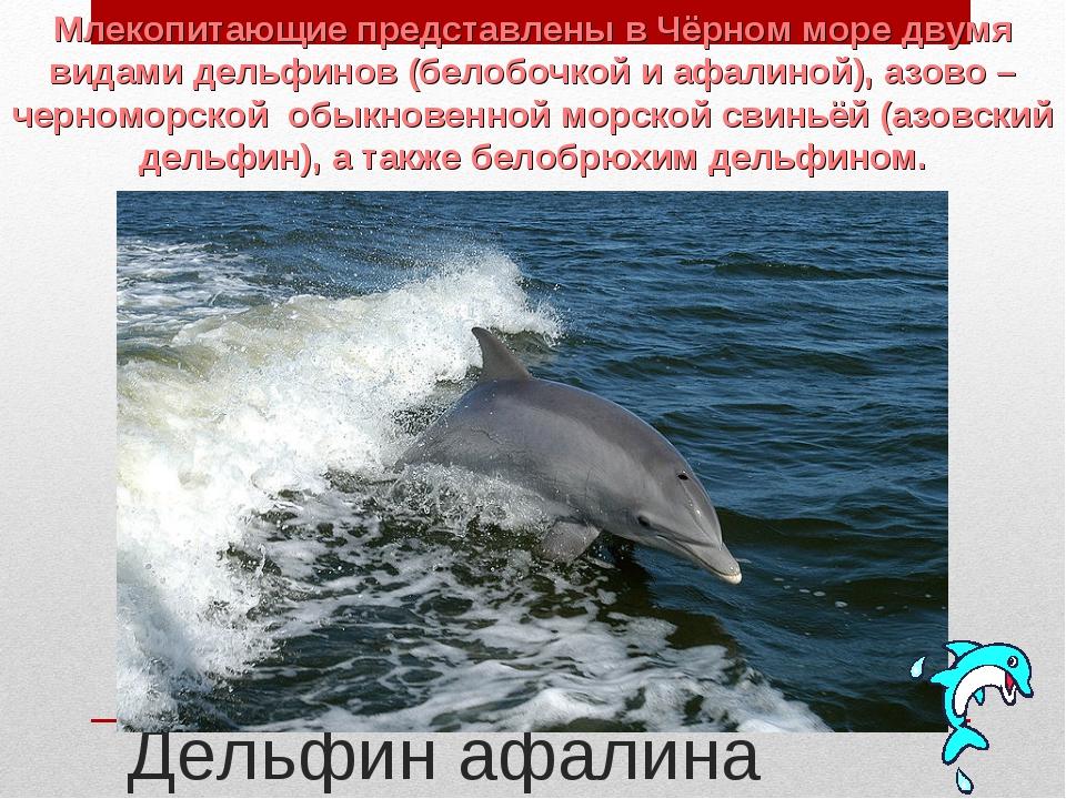 Дельфин афалина Млекопитающие представлены в Чёрном море двумя видами дельфи...