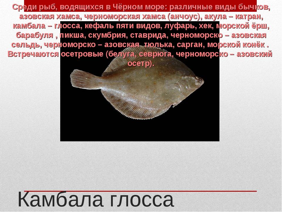 Камбала глосса Среди рыб, водящихся в Чёрном море: различные виды бычков, азо...