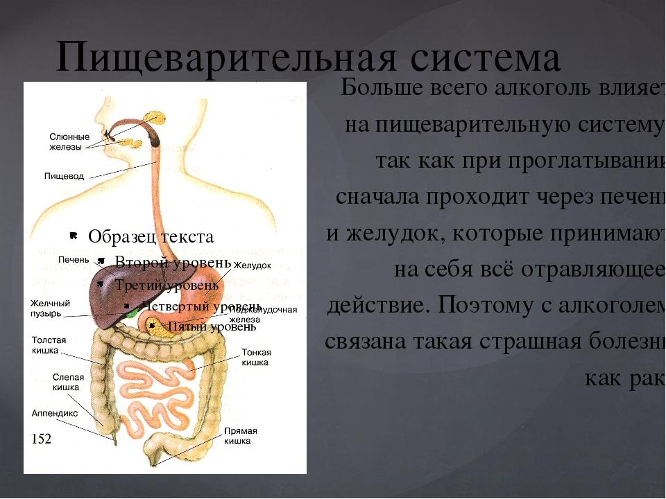 Пищеварительная система Больше всего алкоголь влияет на пищеварительную систе...