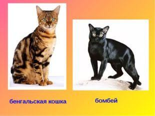 бенгальская кошка бомбей