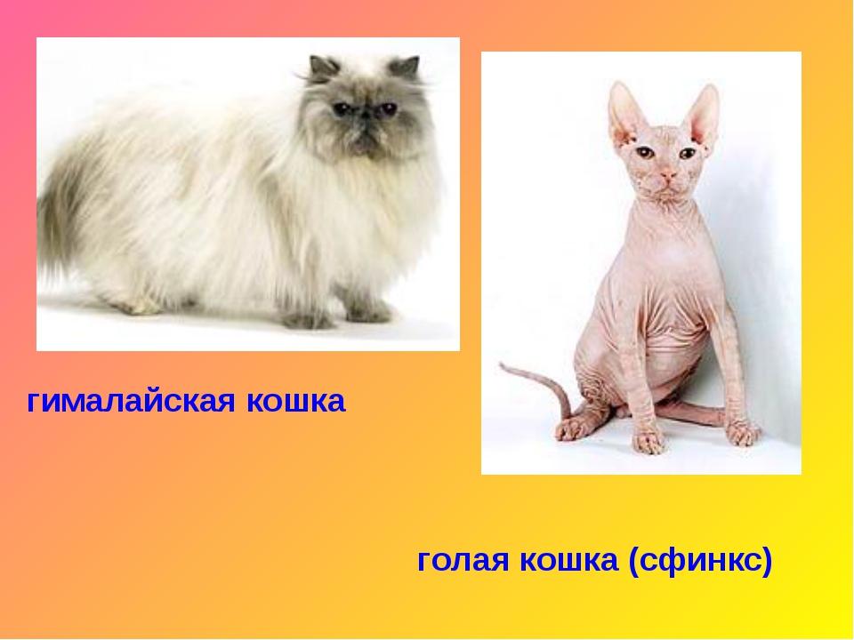 гималайская кошка голая кошка (сфинкс)