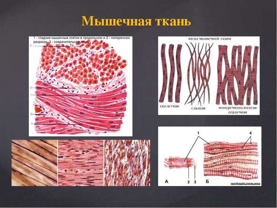 Картинки мышечная ткани