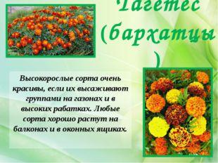 Высокорослые сорта очень красивы, если их высаживают группами на газонах и в