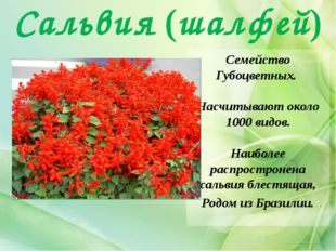 Сальвия (шалфей) Семейство Губоцветных. Насчитывают около 1000 видов. Наиболе