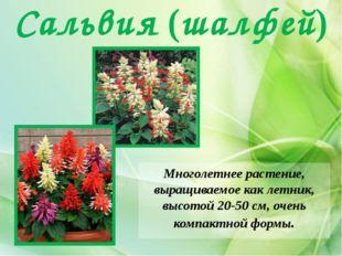 Сальвия (шалфей) Многолетнее растение, выращиваемое как летник, высотой 20-50
