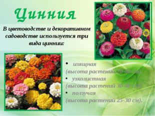 Цинния В цветоводстве и декоративном садоводстве используется три вида циннии