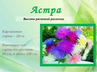 Астра Высота растений различна. Карликовые сорта – 20см. Высокорослые сорта д
