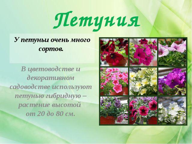 Петуния У петуньи очень много сортов. В цветоводстве и декоративном садоводст...