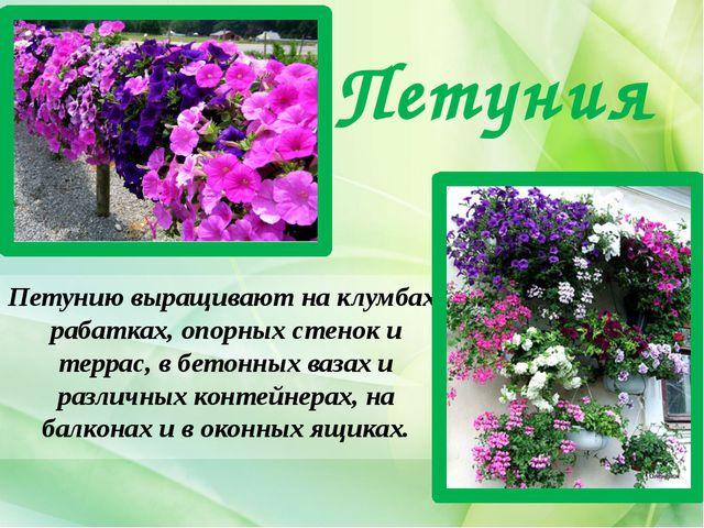 Петуния Петунию выращивают на клумбах, рабатках, опорных стенок и террас, в б...