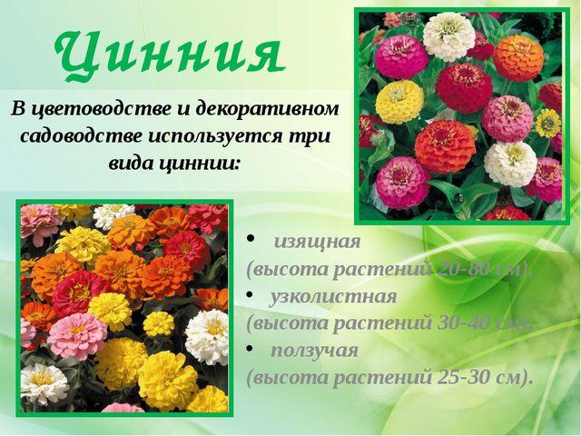 Цинния В цветоводстве и декоративном садоводстве используется три вида циннии...