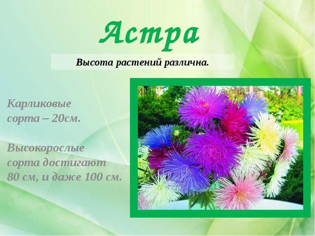 Астра Высота растений различна. Карликовые сорта – 20см. Высокорослые сорта д...