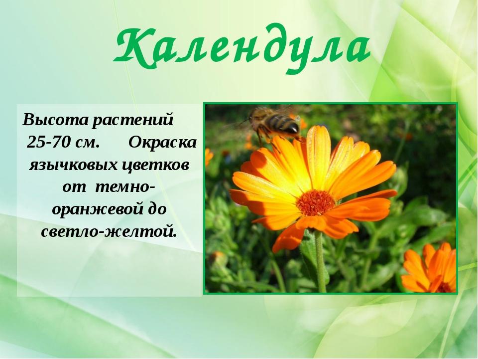 Календула Высота растений 25-70 см. Окраска язычковых цветков от темно-оранже...