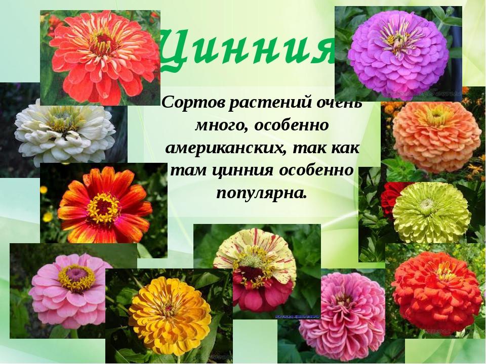 Цинния Сортов растений очень много, особенно американских, так как там цинния...