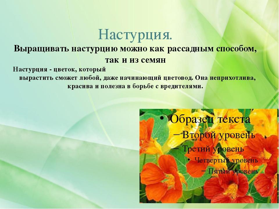 Настурция. Выращивать настурцию можно как рассадным способом, так и из семян...
