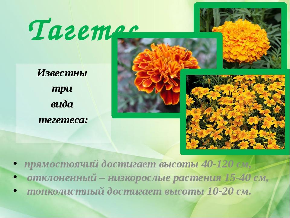 Тагетес Известны три вида тегетеса: прямостоячий достигает высоты 40-120 см,...