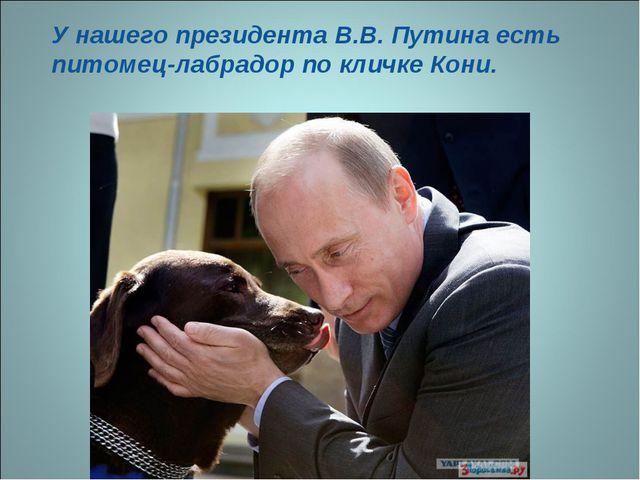 У нашего президента В.В. Путина есть питомец-лабрадор по кличке Кони.