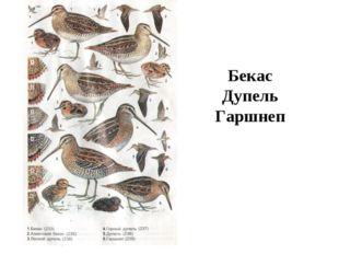 Бекас Дупель Гаршнеп