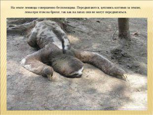 На земле ленивцы совершенно беспомощны. Передвигаются, цепляясь когтями за зе