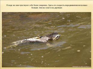 В воде же они чувствуют себе более уверенно. Здесь его скорость передвижения