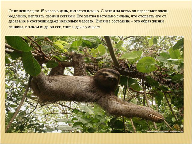Спит ленивец по 15 часов в день, питается ночью. С ветви на ветвь он перелеза...