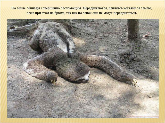 На земле ленивцы совершенно беспомощны. Передвигаются, цепляясь когтями за зе...