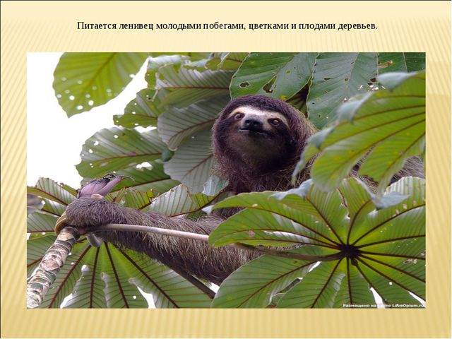 Питается ленивец молодыми побегами, цветками и плодами деревьев.
