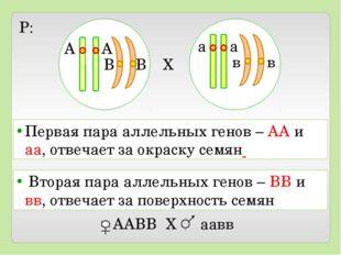 X P: А А В В а а в в Первая пара аллельных генов – АА и аа, отвечает за окра