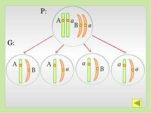 Закон справедлив, если аллельные гены расположены в разных парах гомологичны